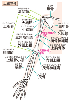 Upper limb bone (anterior side)