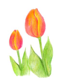 Tulip 02 (color pencil drawing)