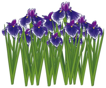 Flower - iris (shoumu) -03