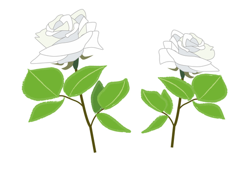 rose_ white rose