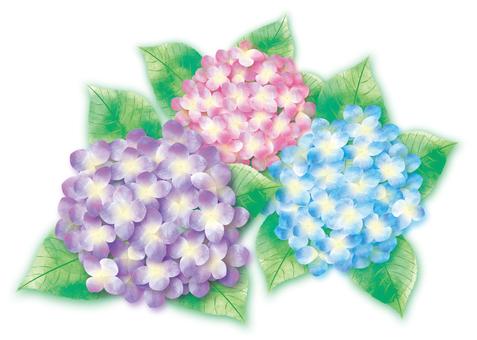 3 colors hydrangea