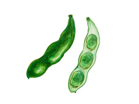 Watercolor _ broad bean