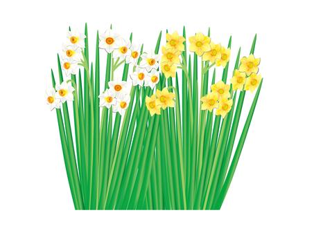 Narcissus 3