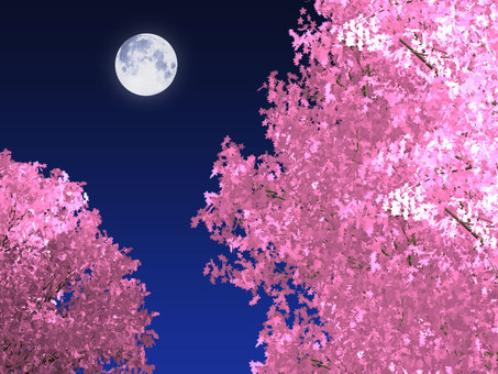 Full moon and beautiful night cherry blossoms