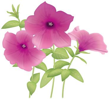 Petunia / Pink