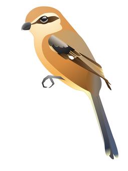 Shrike (male)