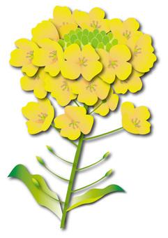 Rape flower 2