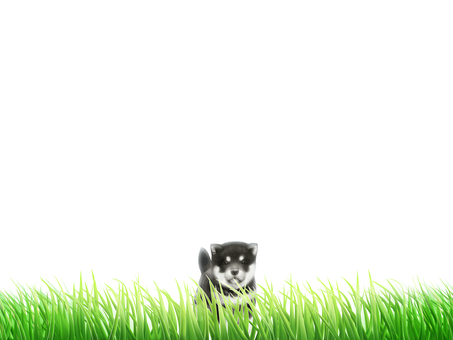 Lawn Siberian Husky Background / Wallpaper Frame