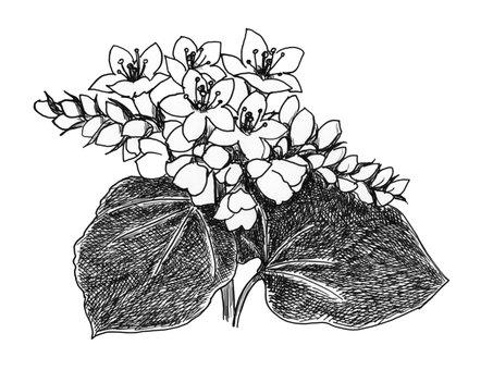 Buckwheat flower black and white -1