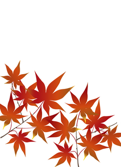 Maple that burns red