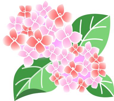 Hydrangea (peach)