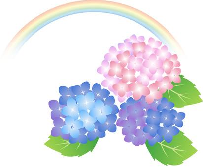 Hydrangea rainbow