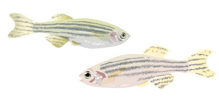 2 zebrafish