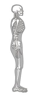 Full body skeleton right side