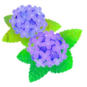 Illustration of hydrangea hydrangea