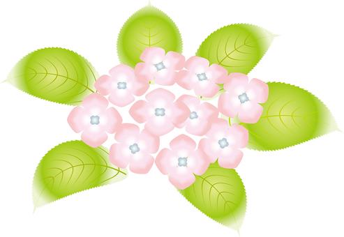 Hydrangea 11 in early summer