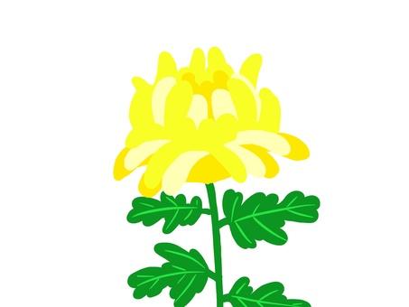 Chrysanthemum flower (yellow)