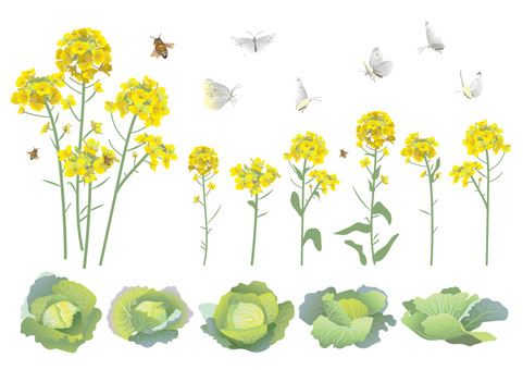 Rape flowers and cabbage