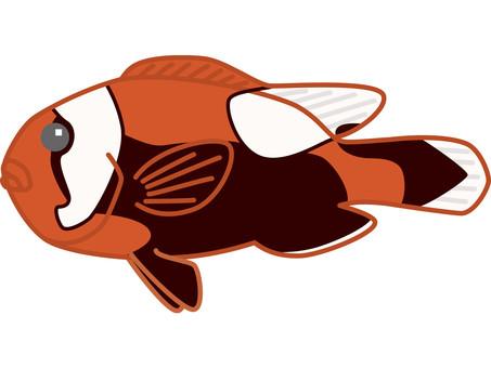 Toucan anemone fish
