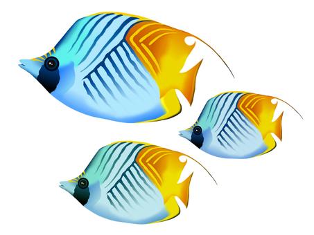 Swallowtail butterflyfish