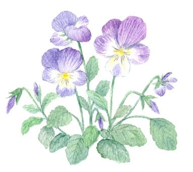 Viola drawn with transparent watercolor