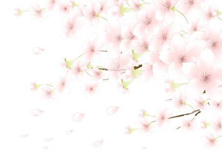 Cherry blossom background 4