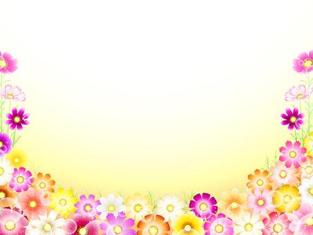 秋天·波斯菊背景·花田11