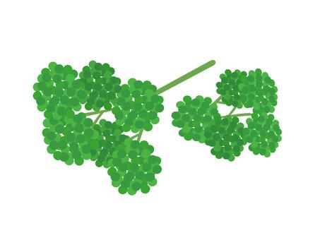 parsley
