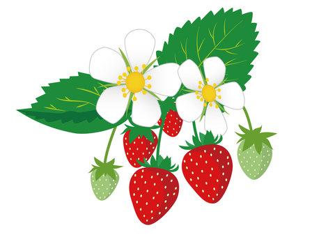 イチゴとイチゴの花