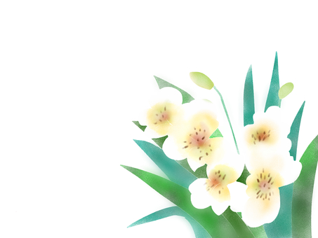Alstroemeria white