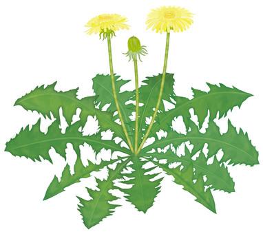 민들레 / 친밀한 꽃