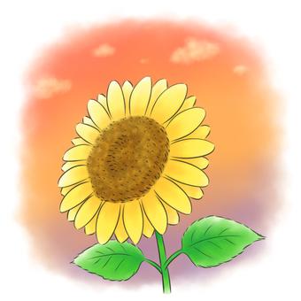 Sunflower solo evening sky