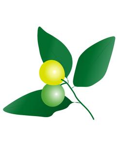 Kumquat yellow and green