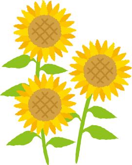 Tsunagi Sunflower
