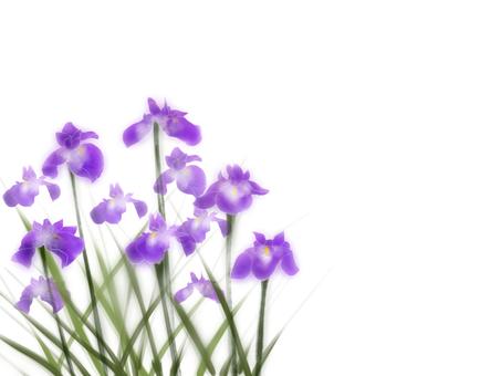 Iris iris (Hanashaubu) purple