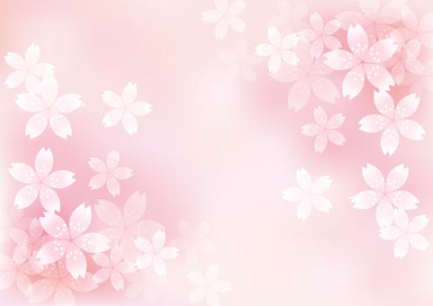 벚꽃의 꽃 13