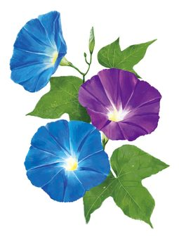 F _ morning glory _ morning glory
