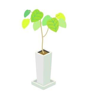 Houseplant (Umbellata)