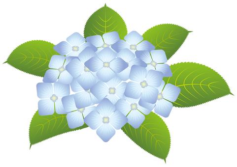 Beautiful hydrangea 2