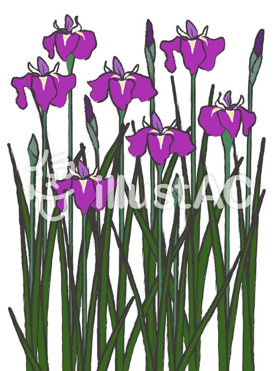 和風素材 しょうぶ 菖蒲 5月の花イラスト No 750180無料イラスト
