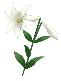 Lily (white)