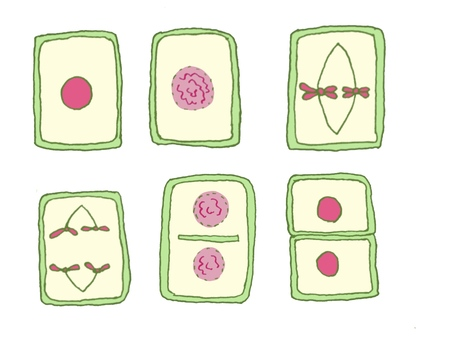 Somatic cell division of plants