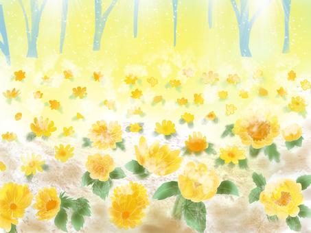 복수초, 봄의 빛