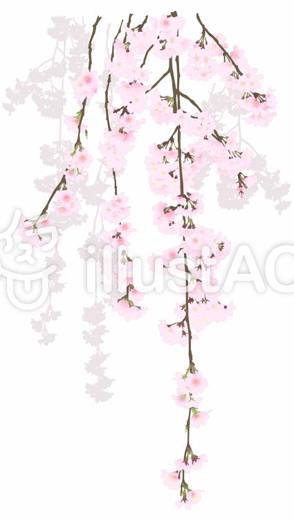 枝垂れ桜のイラスト
