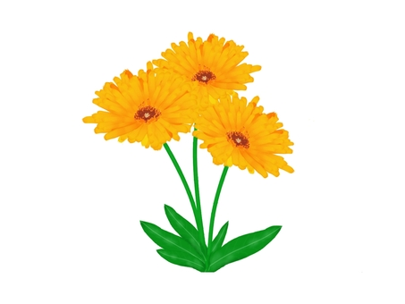 Flower calendula illustration