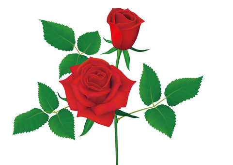 Rose flowers _ Red