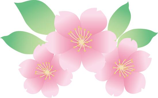 Sakura illustration