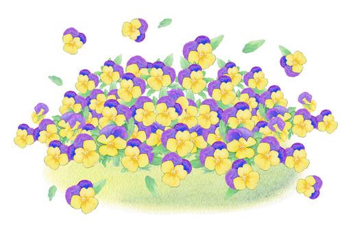 Viola Flower full of flowers! ★ 0033-F