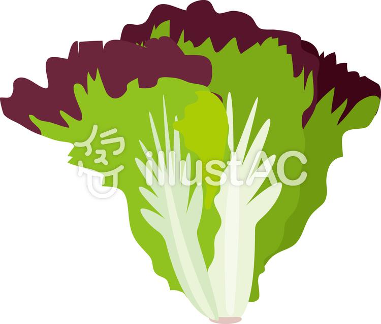 食物シリーズ野菜 サニーレタスイラスト No 258047無料イラストなら