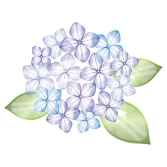 Hydrangea [purple]